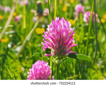 wildflowers against the background of green grass, clover, summer.