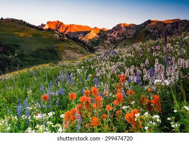 Wildflowers at Albion Basin, Alta, Utah, USA.