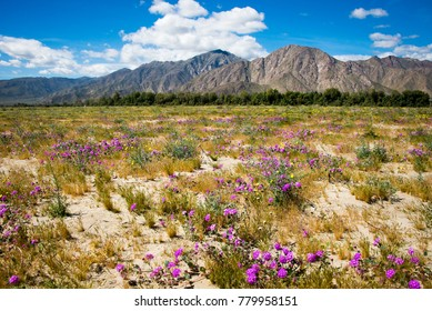 Wildflowers in Anza Borrego State Park, California.