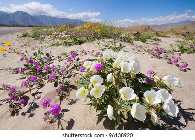 Wildflowers in Anza Borrego State Park, CA.