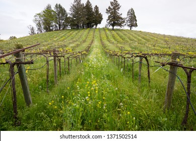 Wildflowers in bloom during the early Spring at a winery vineyard in Sonoma Valley California.
