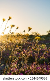Wildflowers Blooming at Anza-Borrego Desert State Park