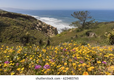 Wildflowers blooming next to the Pacific Ocean in the spring of 2017 in Torrey Pines - San Diego, California