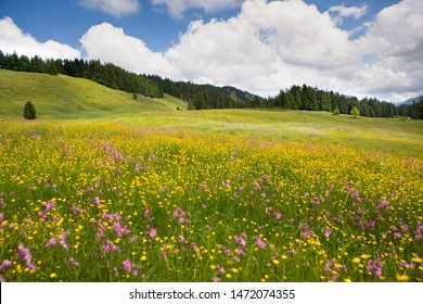 wildflowers blossom  in an alpine pasture