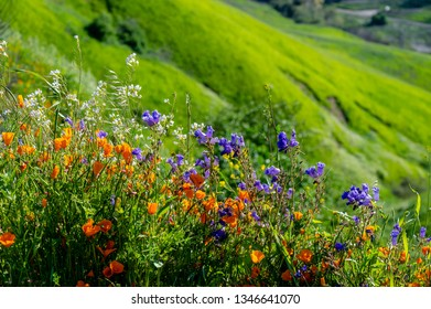 Wildflowers in Chino Hills State Park during the superbloom in California.