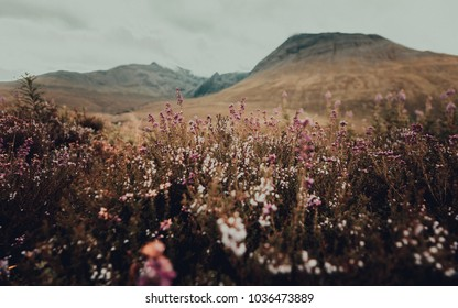 Wildflowers field with mountains in the background, Isle of Skye United Kingdom