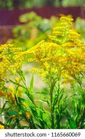 Wildflowers. giant goldenrod