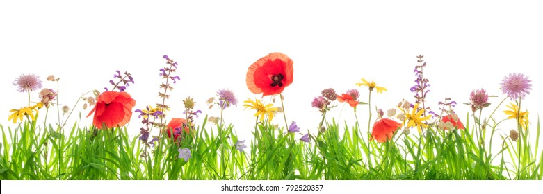Wildflowers and green grass blades in front of white with copyspace, Banner