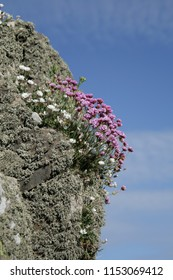 Wildflowers growing in a crevice on a rocky outcrop on the coast in Scotland