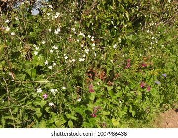 Wildflowers in hedgerow