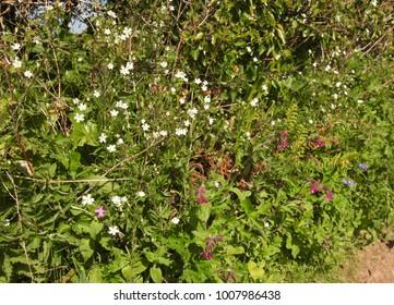 Wildflowers in hedgerow