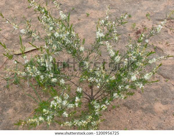 Wildflowers Mt Trio Stirling Range National Park