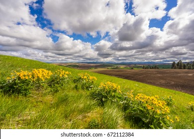 Wildflowers on Kamiak Butte State Park, Whitman County, Washington, USA