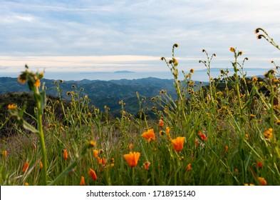 Wildflowers on Sulpher Mountain on the border of Ojai and Ventura, California