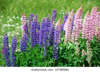 Wildflowers on wayside lupins