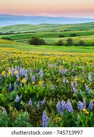 Wildflowers in the rolling hills above the Columbia River in Columbia Hills State Park, Washington, with Mt Hood in the background.
