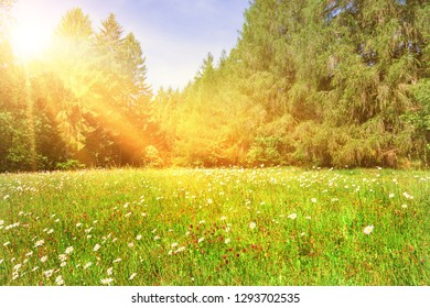Wildflowers in spring on a sunny forest meadow
