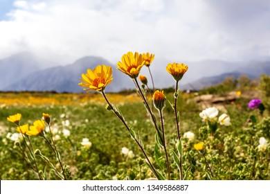 Wildflowers superbloom in Anza-Borrego Desert