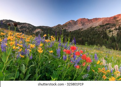 Wildflowers in the Wasatch Mountains, Utah, USA.