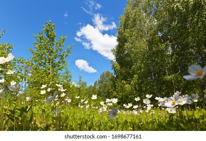 Wildflowers white anemones bloom at the edge of a birch forest on a sunny summer day. Beautiful summer landscape. Natural background