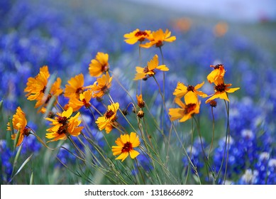 Wildflowers - Yellow Coreopsis Daisies with blurred bluebonnets in background, along a Texas roadside