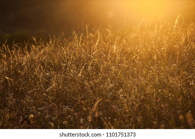 Wildgrass meadow in orange sunset backlit as background image