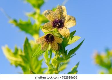 wild-growing poisonous herb Hyoscyamus.Belen contains alkaloids hyoscyamine, atropine, scopolamine.plant-narcosis