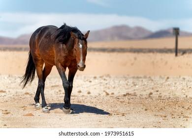 Wildhorse in desert near town Aus in Namibia