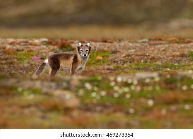 Wildlife action scene from Norway. Arctic Fox, Vulpes lagopus, in the nature habitat, Svalbard, Norway.