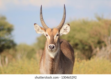 Wildlife from Africa - Waterbuck - Looking back at you.  With the blue skies being the portrait background, this bull is but a real masterpiece.  Namibia.