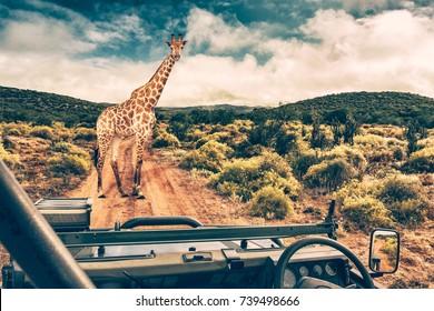 Wildlife african safari, beautiful wild giraffe, great animal in natural habitat, summer vacation in savannah, eco travel and tourism, South Africa