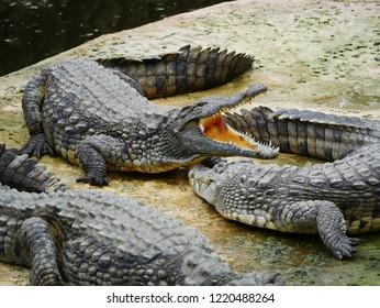 Wildlife animal crocodile