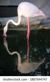 Wildlife animal scene from nature. Flamingo reflection.