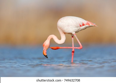 Wildlife animal scene from nature. Flamingo in nature habitat. Beautiful water bird. Pink big bird Greater Flamingo, Phoenicopterus ruber, in the water, Camargue, France.