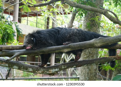Wildlife asia binturong, binturong sleeping, bearcat.