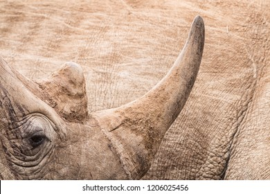 wildlife background with a close up portrait of the horn of a resting endangered rhino, concept against poaching, South Africa