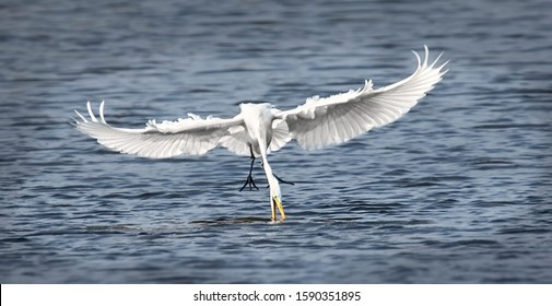 Wildlife background of white heron great egret Ardea alba hunting on a pond, flies over the water and catches fish, has fish in its beak. The best photo.