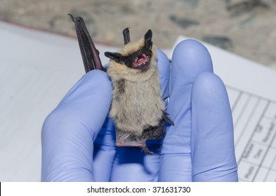 A wildlife biologist taking data on a bat caught in a mist net.