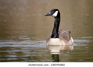 Wildlife Birds Canadian Canada Goose Swimming Green Algae Pond Afternoon