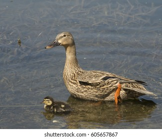 Wildlife birds floating in pond/Ducklings and Mother/Baby fowl in natural environment