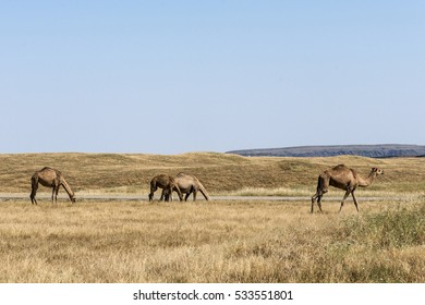 wildlife Camel eating landscape in Oman salalah Arabic 7
