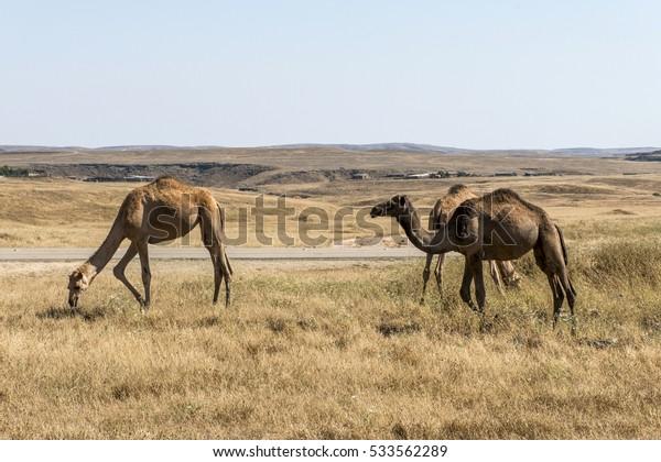 wildlife Camel eating landscape in Oman salalah Arabic 2