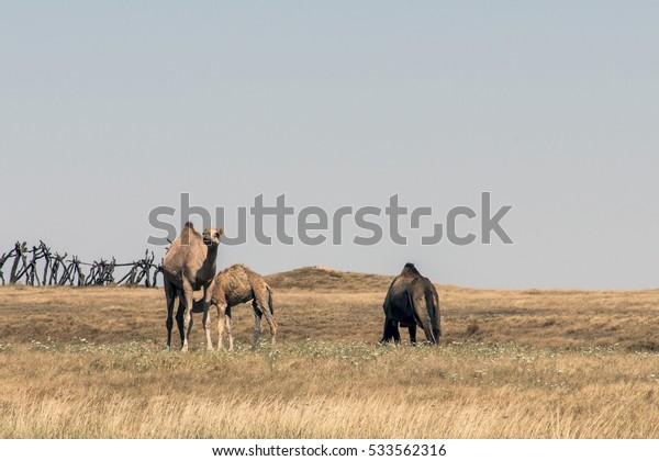 wildlife Camel eating landscape in Oman salalah Arabic 4