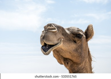 wildlife Camel funny sweet looking smiling inside Camera Oman salalah Arabic 5