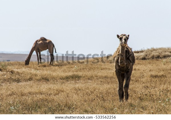 wildlife Camel looking inside Camera in Oman salalah landscape Arabic