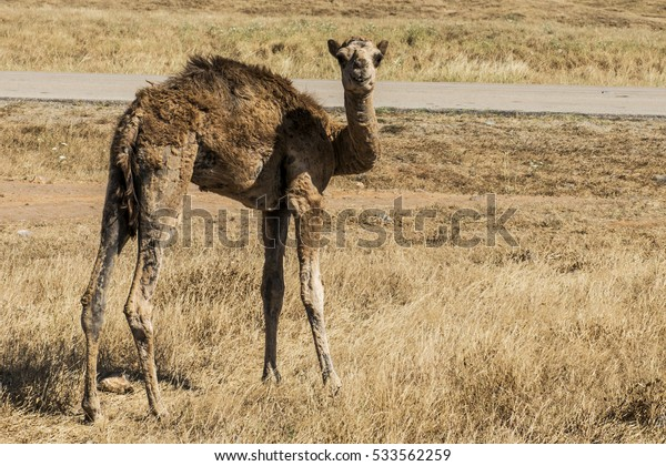 wildlife Camel looking inside Camera in Oman salalah landscape Arabic 9