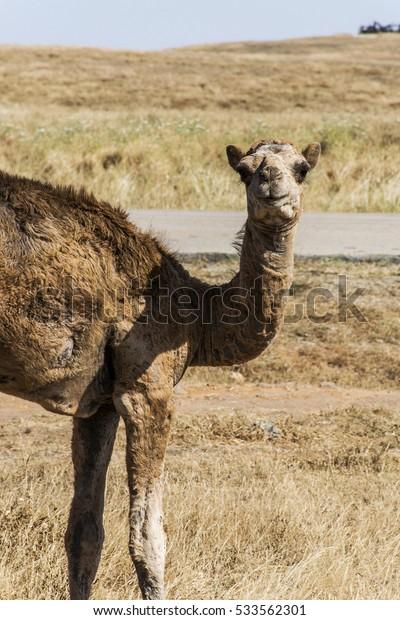 wildlife Camel looking inside Camera in Oman salalah landscape Arabic 11