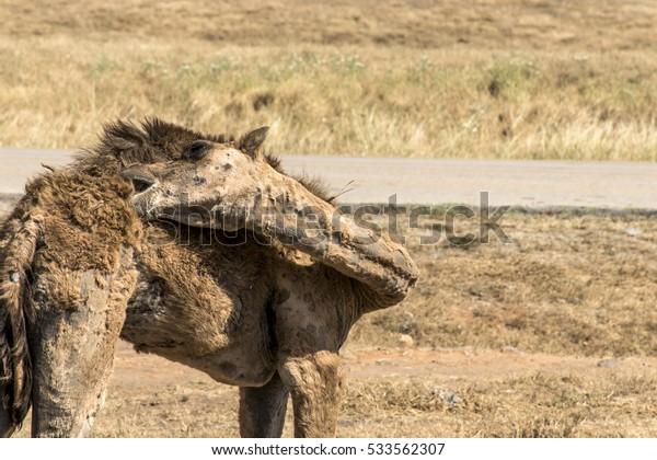 wildlife Camel looking inside Camera in Oman salalah landscape Arabic 8