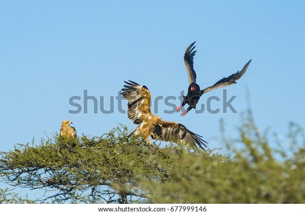 the wildlife of Central Kalahari Game Reserve