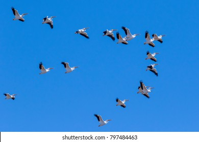 Wildlife at Cherry Creek State Park in suburban Denver, Colorado - migrating American white pelicans flying in formation.
